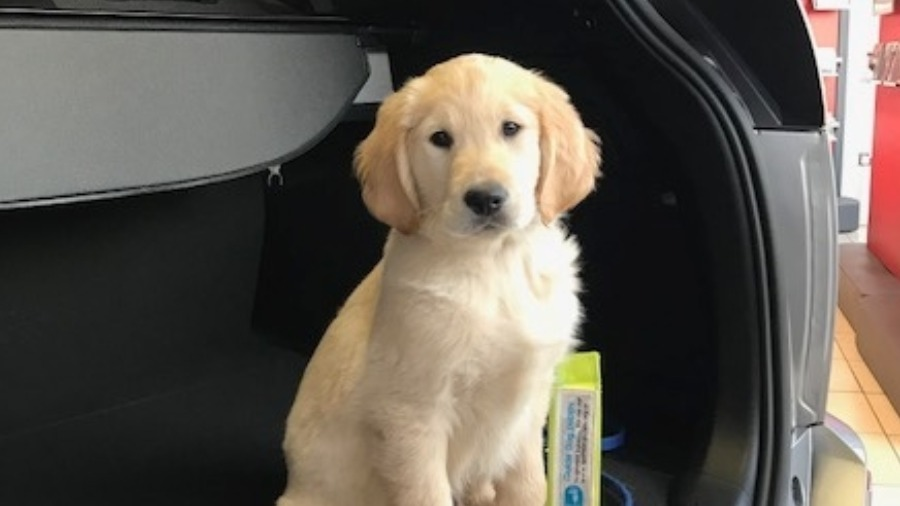 Beadles Toyota visited by Genchi, a Guide Dog in training